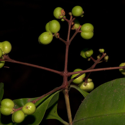 Ixora guineensis Immature fruits