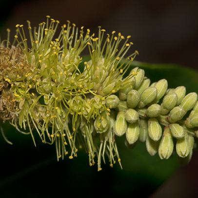 Newtonia devredii Flowers and flower buds.