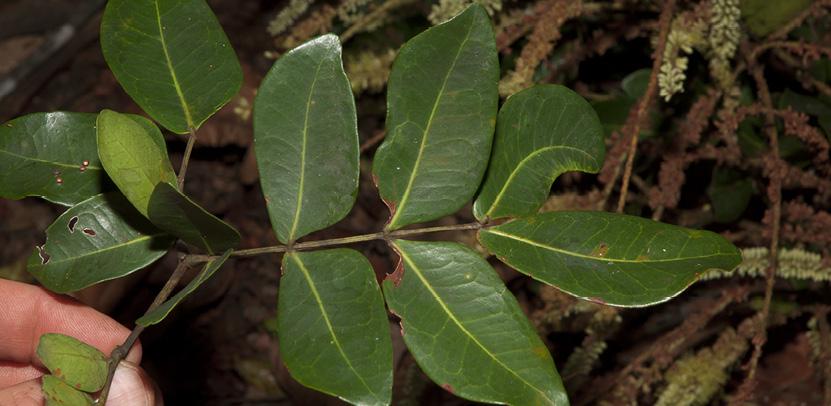 Newtonia devredii Leaf, upper surface.