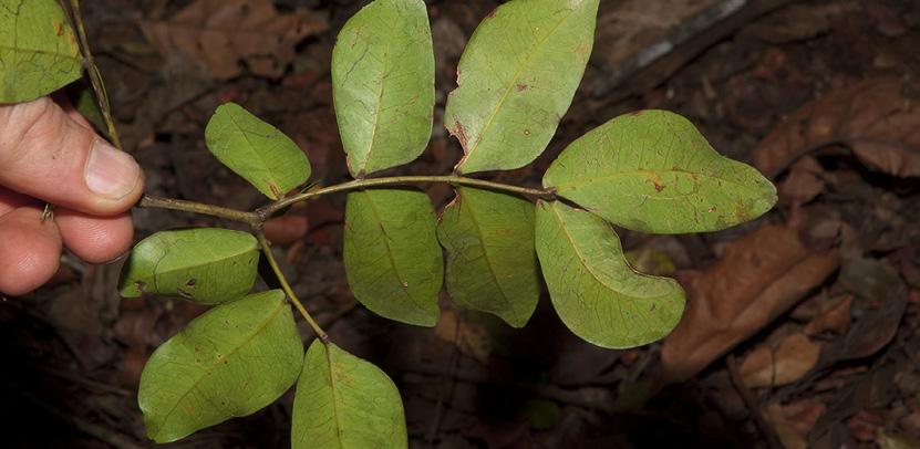 Newtonia devredii Leaf, lower surface.