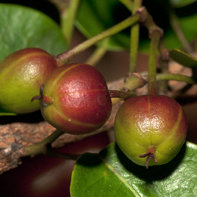 Maprounea membranacea Fruits.
