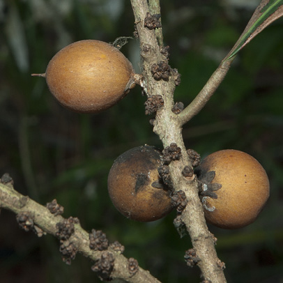 Synsepalum brevipes Fruit.