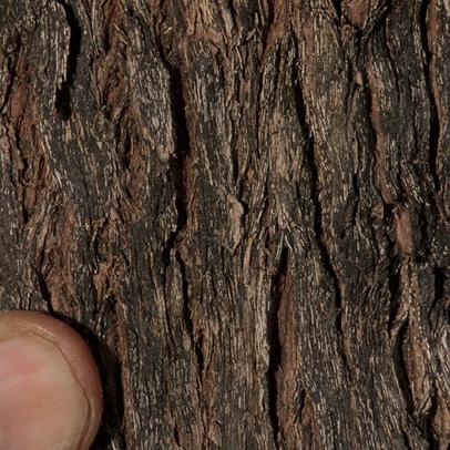 Martretia quadricornis Bark.