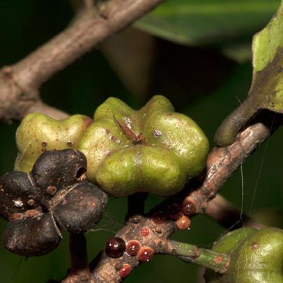 Martretia quadricornis Fruit.