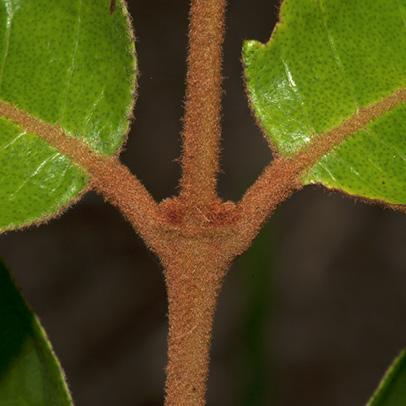 Vismia laurentii Leaf bases, upper surface.
