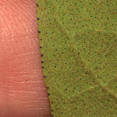 Vismia laurentii Leaf margin, lower surface.
