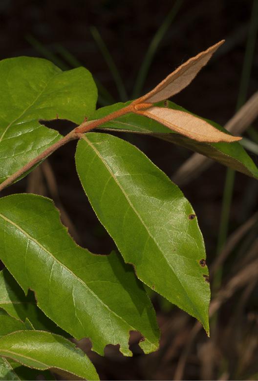 Vismia laurentii Young leaves.