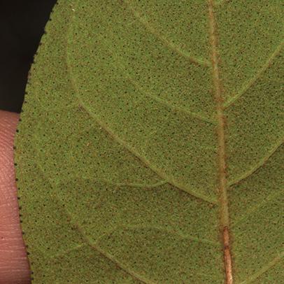 Vismia laurentii Midrib and venation, leaf lower surface.