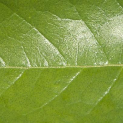 Vismia laurentii Midrib and venation, leaf upper surface.