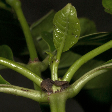 Morinda lucida Young leaf and stipule.
