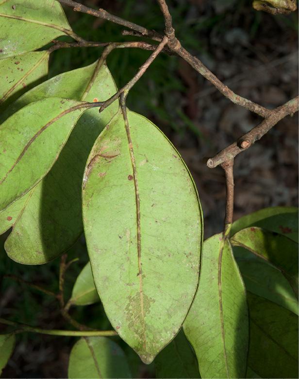 Martretia quadricornis Mature leaf, lower surface.