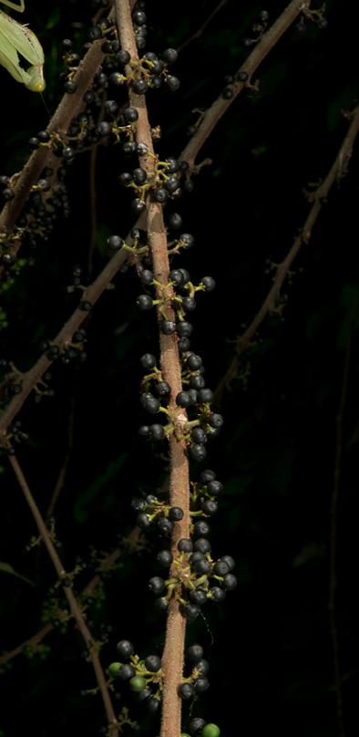 Trema orientalis Ripe fruit on leafless stem.