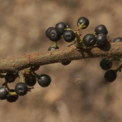 Trema orientalis Ripe fruit.