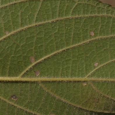 Trema orientalis Midrib and venation, lower surface.