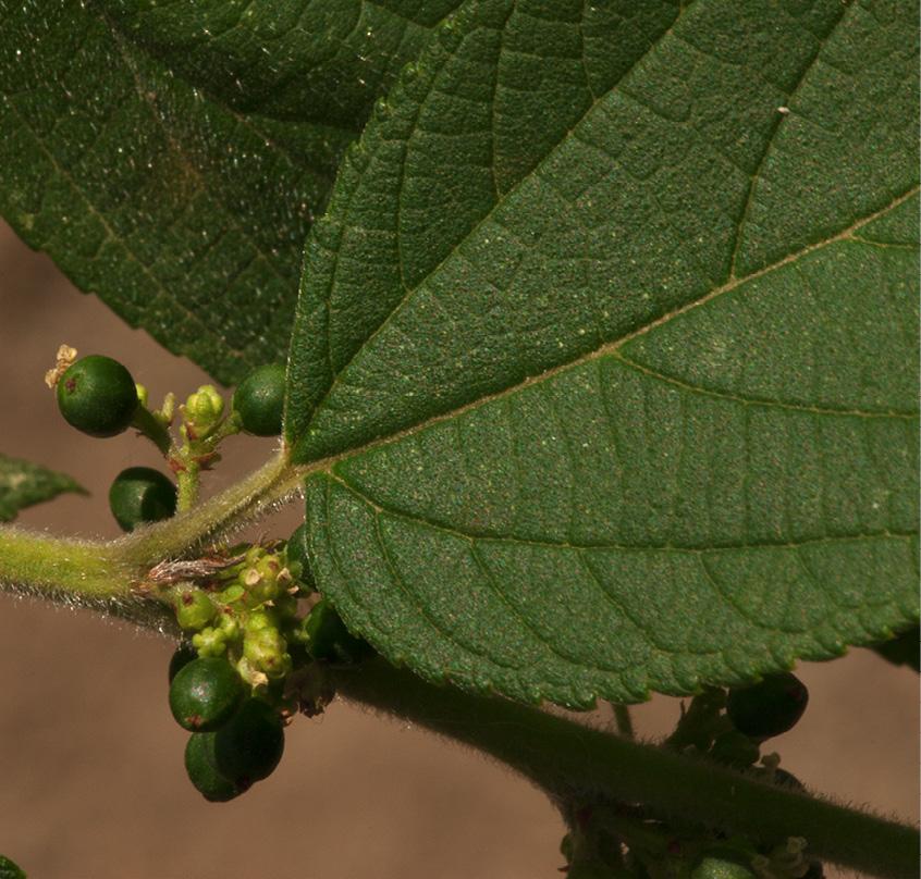 Trema orientalis Leaf base, immature fruit and flowers.