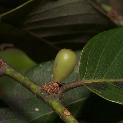Bridelia micrantha Immature fruit.