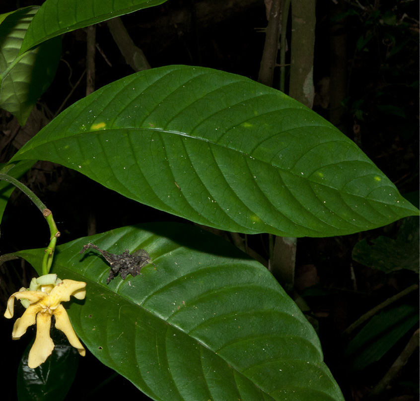 Voacanga africana Leaves, upper surface and old flower.