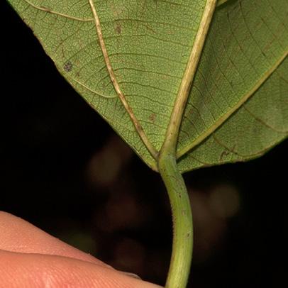 Macaranga monandra Venation at the base of mature leaf, lower surface.