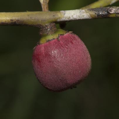 Diospyros iturensis Fruit.