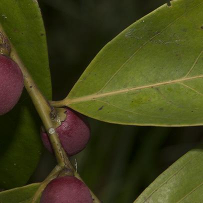 Diospyros iturensis Leaf base and fruit.