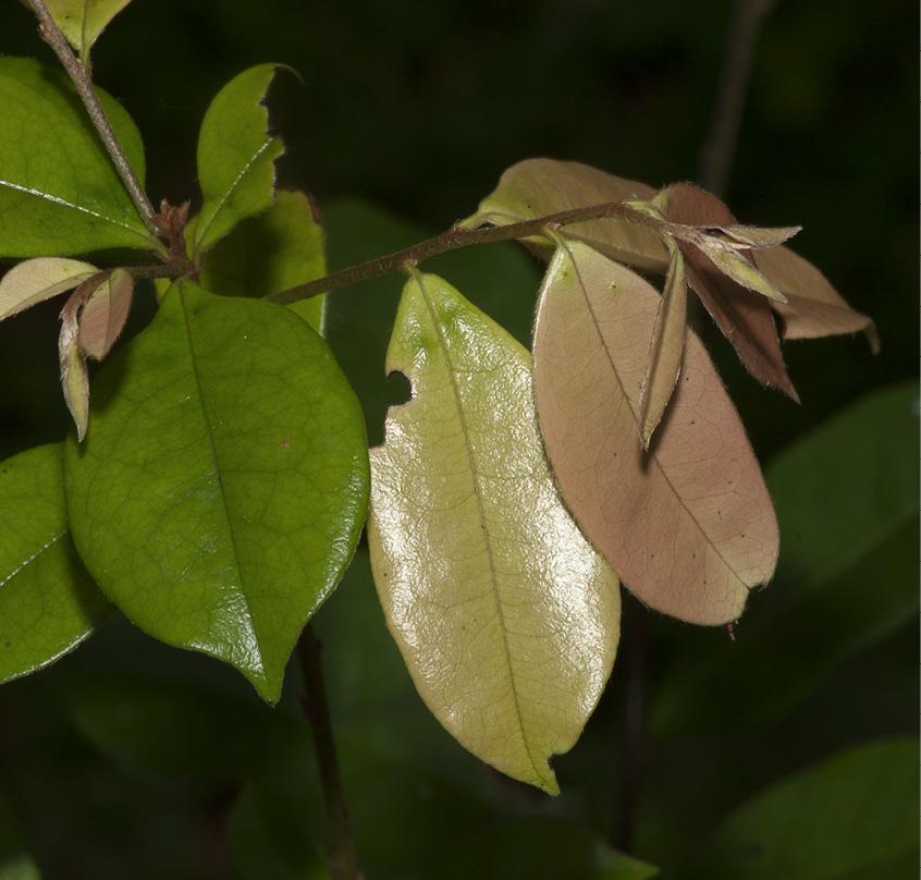 Diospyros ferrea Flushing leaves.