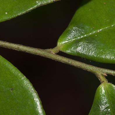 Diospyros ferrea Leaf base with glands, upper surface.