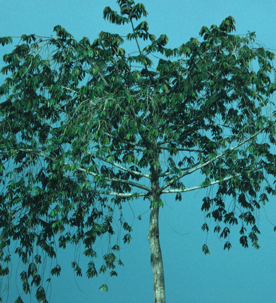 Pycnanthus angolensis Habit.