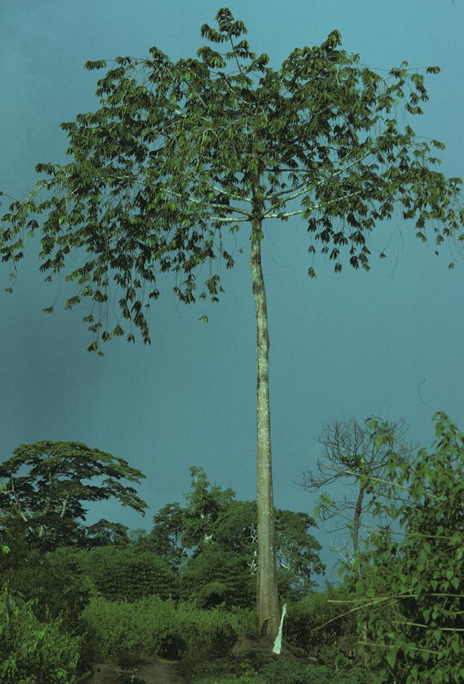 Pycnanthus angolensis Branching pattern.