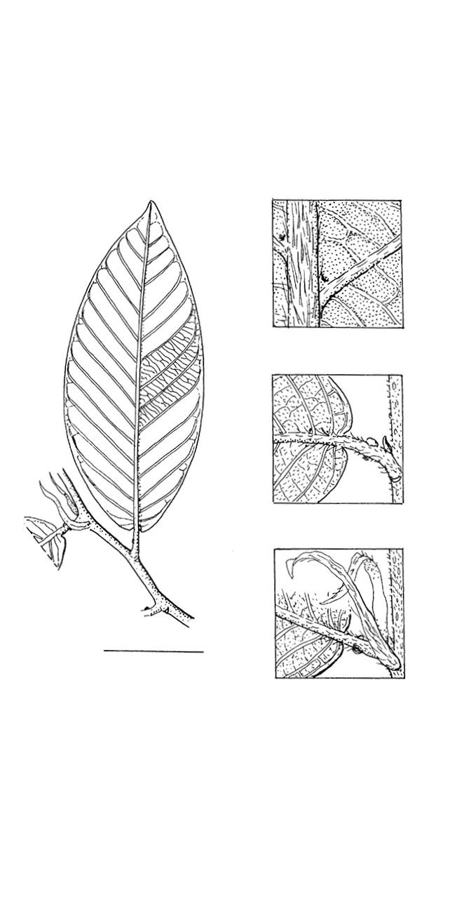 line image of Parinari congensis
