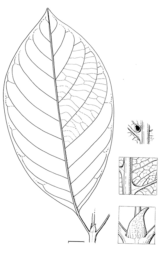 line image of Pauridiantha rubens