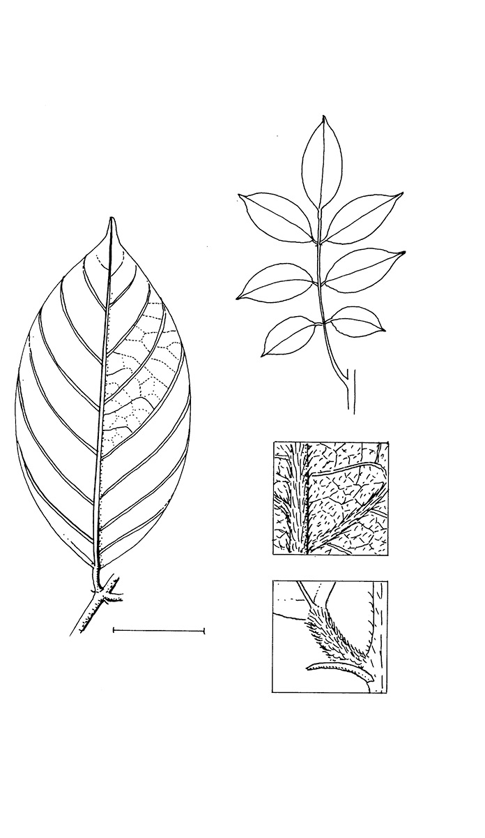 line image of Millettia laurentii