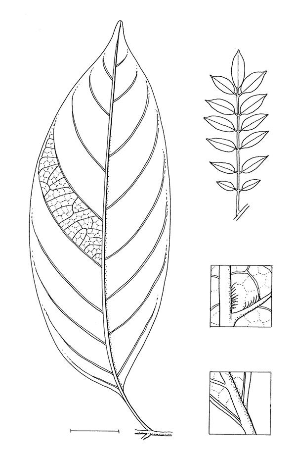 line image of Pseudospondias microcarpa