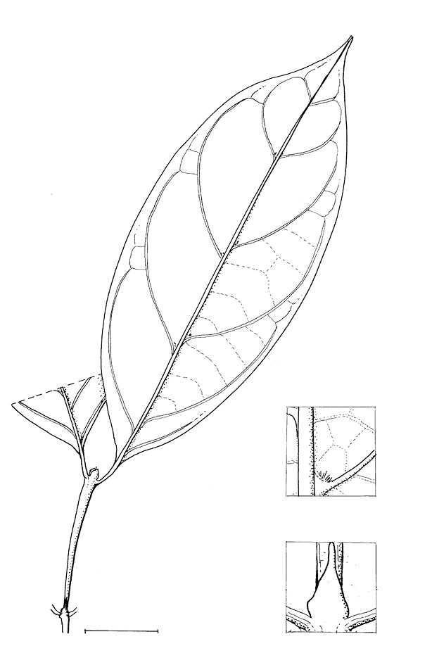 line image of Psilanthus mannii