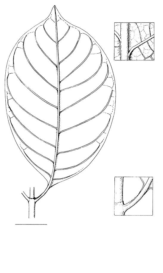 line image of Psychotria djumaensis