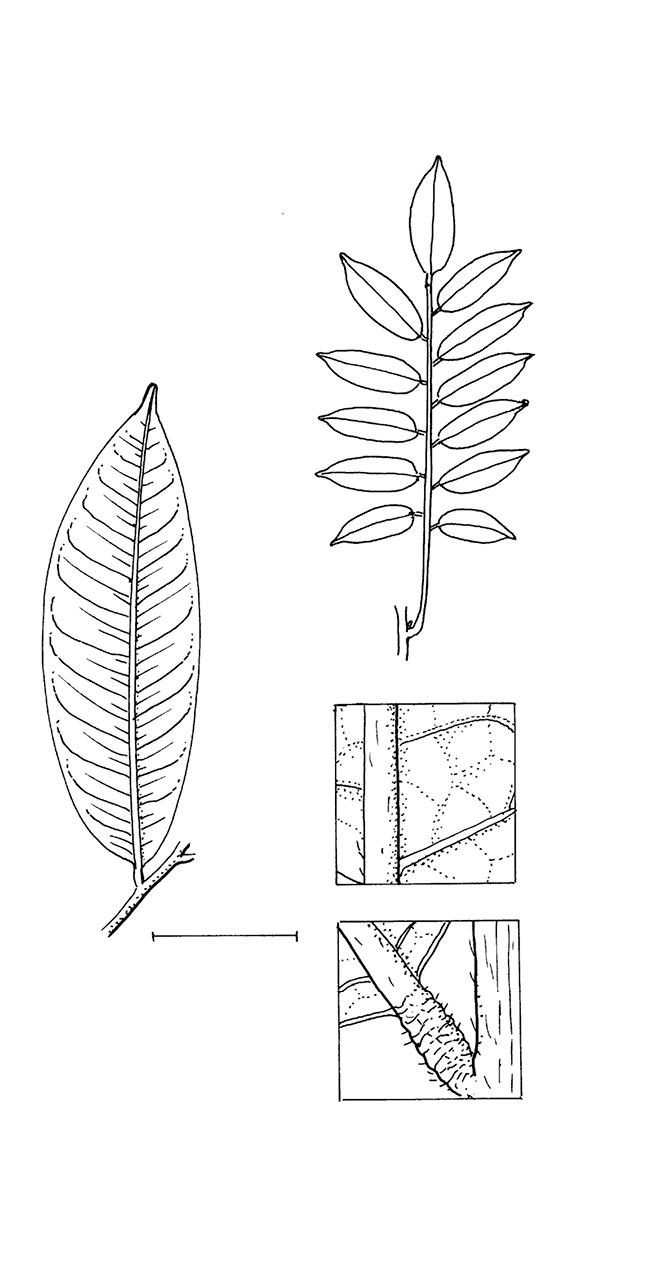 line image of Pterocarpus soyauxii