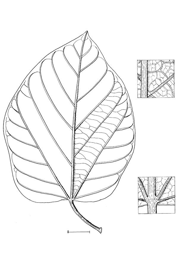 line image of Pterygota bequaertii