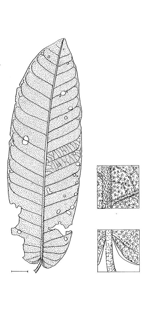 line image of Pycnanthus angolensis