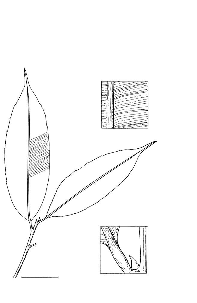 line image of Rhabdophyllum arnoldianum