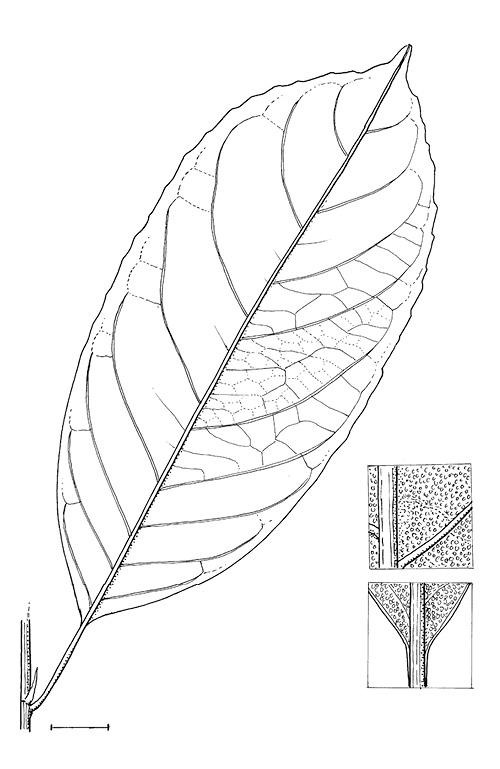 line image of Rinorea oblongifolia