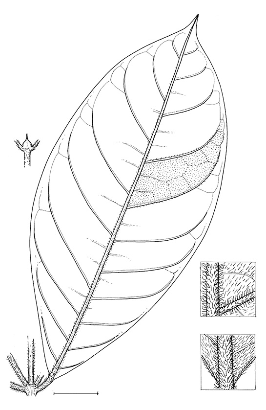 line image of Rothmannia whitfieldii