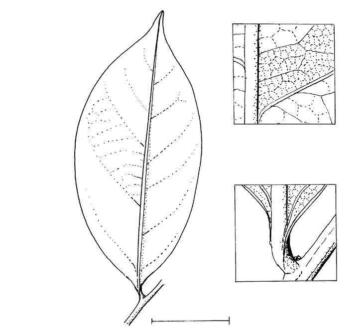line image of Scytopetalum pierreanum