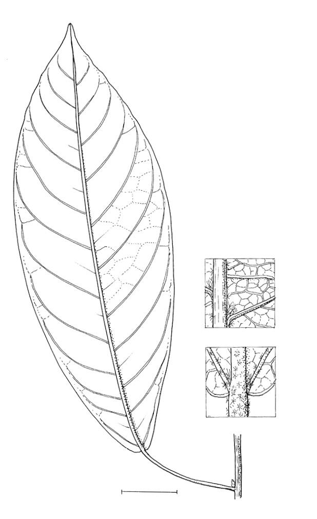 line image of Sterculia oblonga