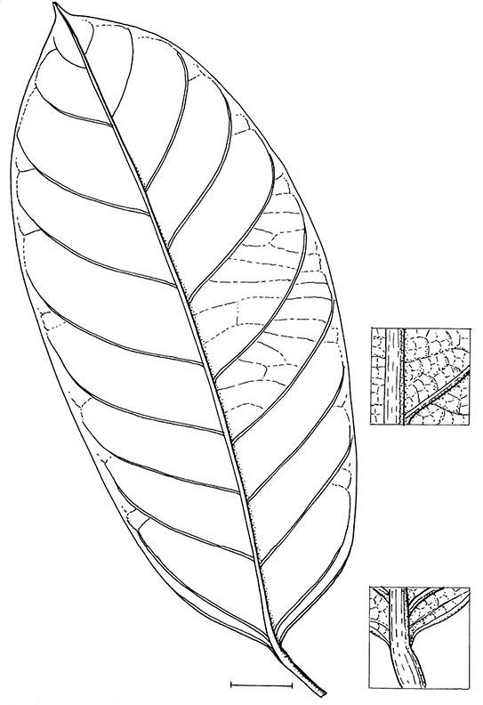 line image of Strombosiopsis tetrandra