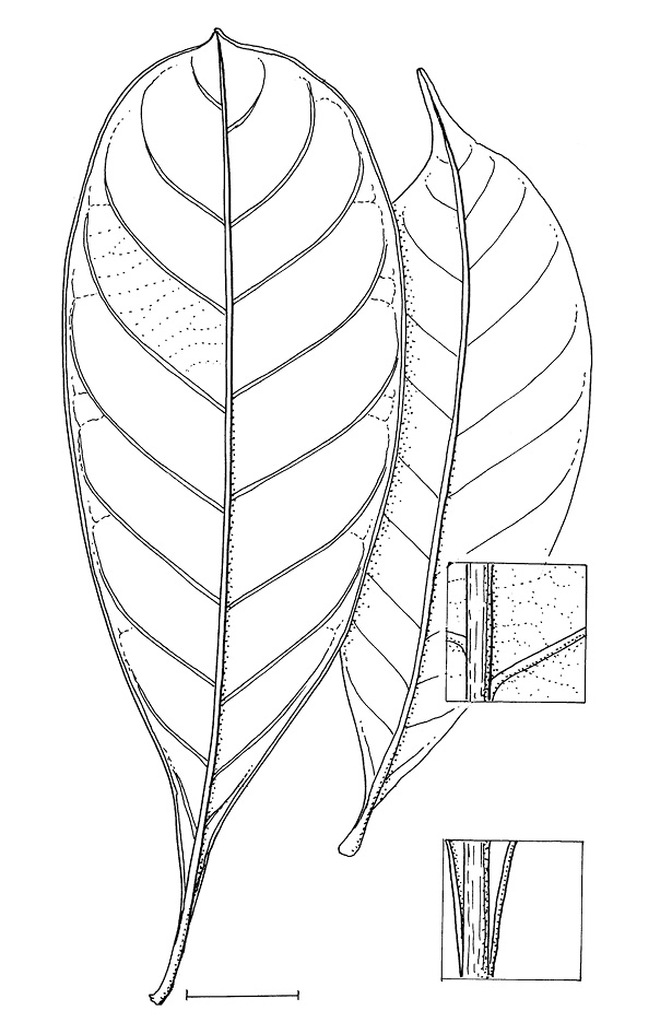line image of Synsepalum brevipes