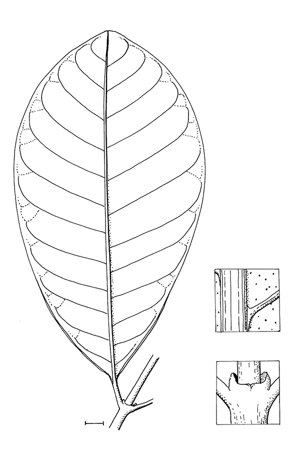 line image of Tabernaemontana crassa