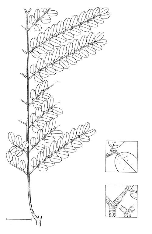 line image of Tetrapleura tetraptera