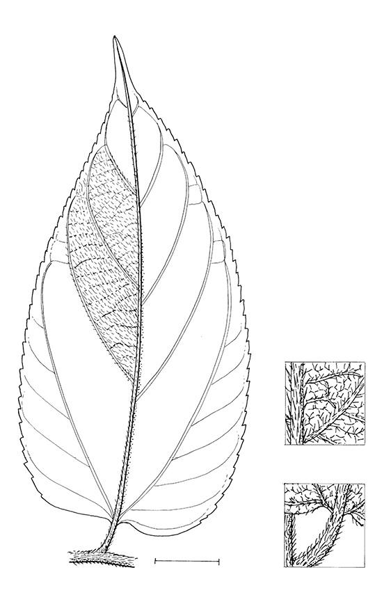line image of Trema orientalis