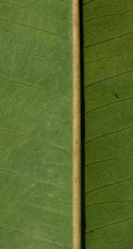 Trichilia retusa Midrib and venation, leaflet lower surface.