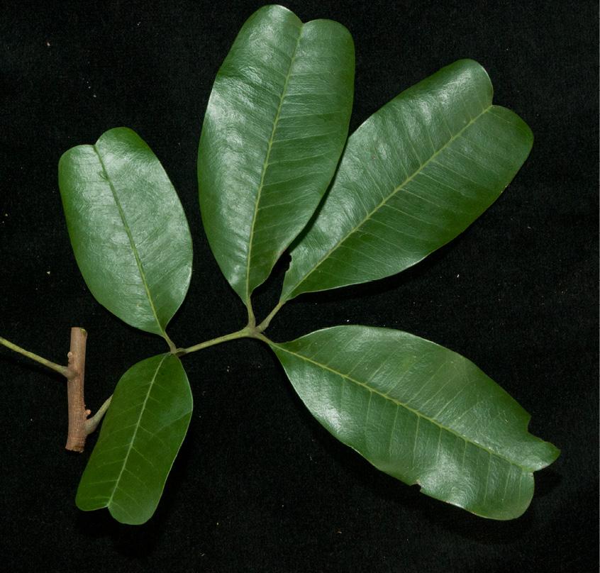 Trichilia retusa Leaf.