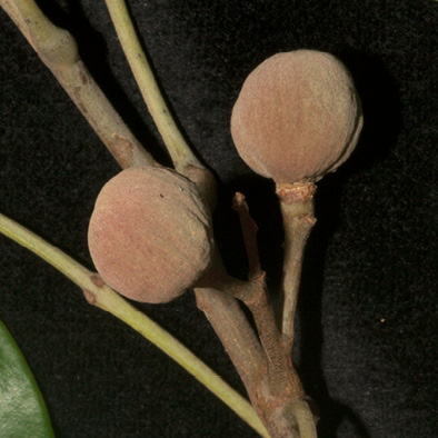 Trichilia retusa Immature fruit.